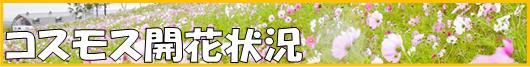 コスモス開花状況 バナー4